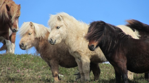 Ponies_in Irland_3