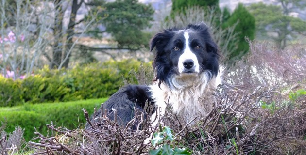Foto-Motive in Irland: Border Collies
