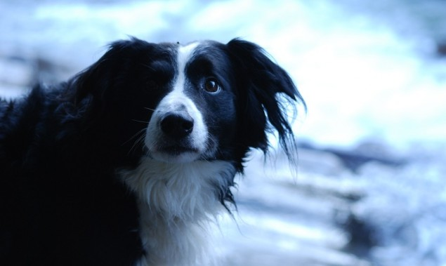 Border Collie Tommy